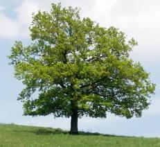Residence Ferrazze a Verona: efficienza energetica e qualità costruttiva per un migliore confort abitativo (26.09.2011) quercus-robur-