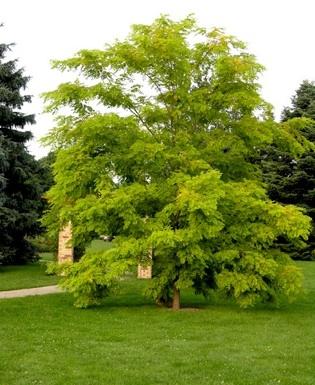 Residence Ferrazze a Verona: efficienza energetica e qualità costruttiva per un migliore confort abitativo (26.09.2011) robinia-pseuodacacia-frisia-cultivar1